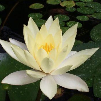 lotus-01